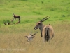 Tala Private Game Reserve - Eland   (1)