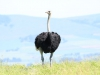Tala Private Game Reserve - Ostrich -  (1)