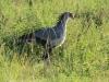 Tala Private Game Reserve - Secretary Bird -  (1)