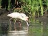Tala Private Game Reserve - Spoonbill -  (1)