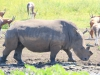 Tala Private Game Reserve -  White Rhino -  (8)