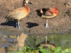 Tala Private Game Reserve - White face duck & Moorhen -  (4)