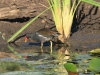Tala Private Game Reserve - White face duck & Moorhen -  (6)