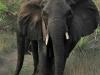 Tembe Elephant Park - Elephant (1)
