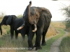 Tembe Elephant Park - Elephant (10)