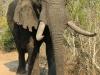 Tembe Elephant Park - Elephant (11)