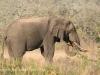 Tembe Elephant Park - Elephant (8)