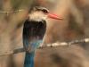 Tembe Elephant Park -  Kingfisher