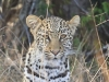 Tembe Elephant Park -  Leopard (1)