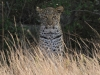 Tembe Elephant Park -  Leopard (2)