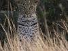 Tembe Elephant Park -  Leopard (3)