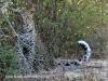 Tembe Elephant Park -  Leopard (4)