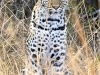 Tembe Elephant Park -  Leopard (5)