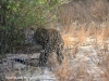 Tembe Elephant Park -  Leopard (6)