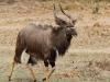 Tembe Elephant Park - Nyala bull