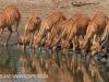 Tembe Elephant Park - Nyala drinking (1)