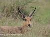Tembe Elephant Park - Reedbuck (2)