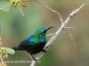 Tembe Elephant Park - sunbird