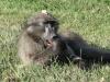 tendele-baboons-21