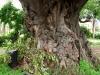 umbilo-fig-trees-1
