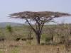 Umfolosi - Acacia Tortillus - thorn tree (1)
