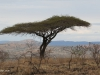 Umfolosi - Acacia Tortillus - thorn tree (2)