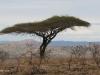 Umfolosi - Acacia Tortillus - thorn tree (2)