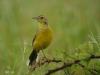 Umfolosi - Bird -  Lark