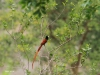 Umfolosi - Bird - Paradise Fly Catcher