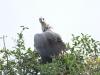 Umfolosi - Bird -  Vulture  (1)