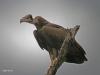 Umfolosi - Bird -  Vulture  (2)