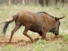 Umfolosi - Blue wildebeeste