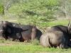 Umfolosi - Buffalo (2)