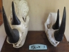 Umfolosi - Centenary Game Capture Centre - Rhino skulls