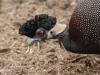 Umfolosi -  Crested Guinea Fowl (6)