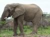 Umfolosi - Elephant (1)