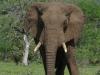 Umfolosi - Elephant bull (1)