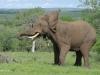 Umfolosi - Elephant bull (2)