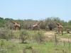 Umfolosi - Giraffe (2)