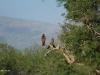 Umfolosi - Hawks (5)