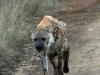 Umfolosi - Hyaena - spotted (3)