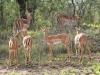 Umfolosi - Impala (2)
