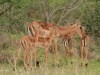 Umfolosi - Impala mother and baby (2)