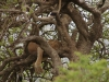 Umfolosi - Lions  in tree  (4)