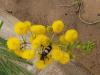 Umfolosi - Mimosa flowers (3)