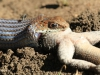 Umfolosi - Mpila camp - snake with lizzard kill (1)