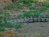 Umfolosi - Python (2)