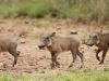 Umfolosi - Warthog (3)