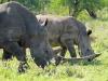 Umfolosi - White Rhino (12)