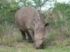Umfolosi - White Rhino (2)